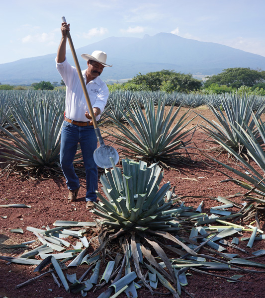 Jimadors Use a Coa to Harvest Agave