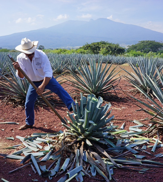Harvesting the Agave Plant